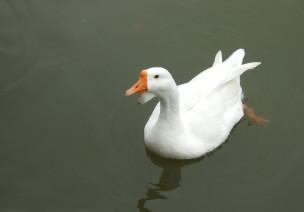 鹅-真实图片