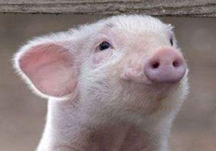 猪-真实图片