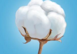 大班社会教案 棉花