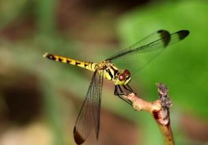 大班認識昆蟲: 蜻蜓