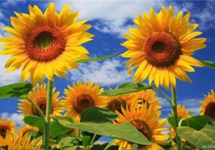 中班美术活动:向日葵