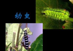 主题活动:春天—科学活动毛毛虫变蝴蝶