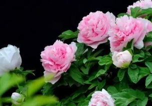 二十四节气第六节 | 谷雨:雨生百谷春欲尽,花事阑珊赏牡丹