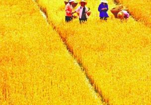 二十四节气第九节 | 芒种:家家麦饭美,处处菱歌长