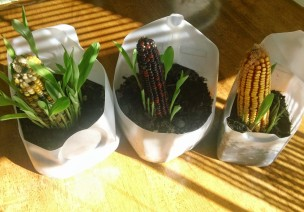 自然角 | 秋天種點啥?玉米、紅薯和松球…豐收果實齊上陣!