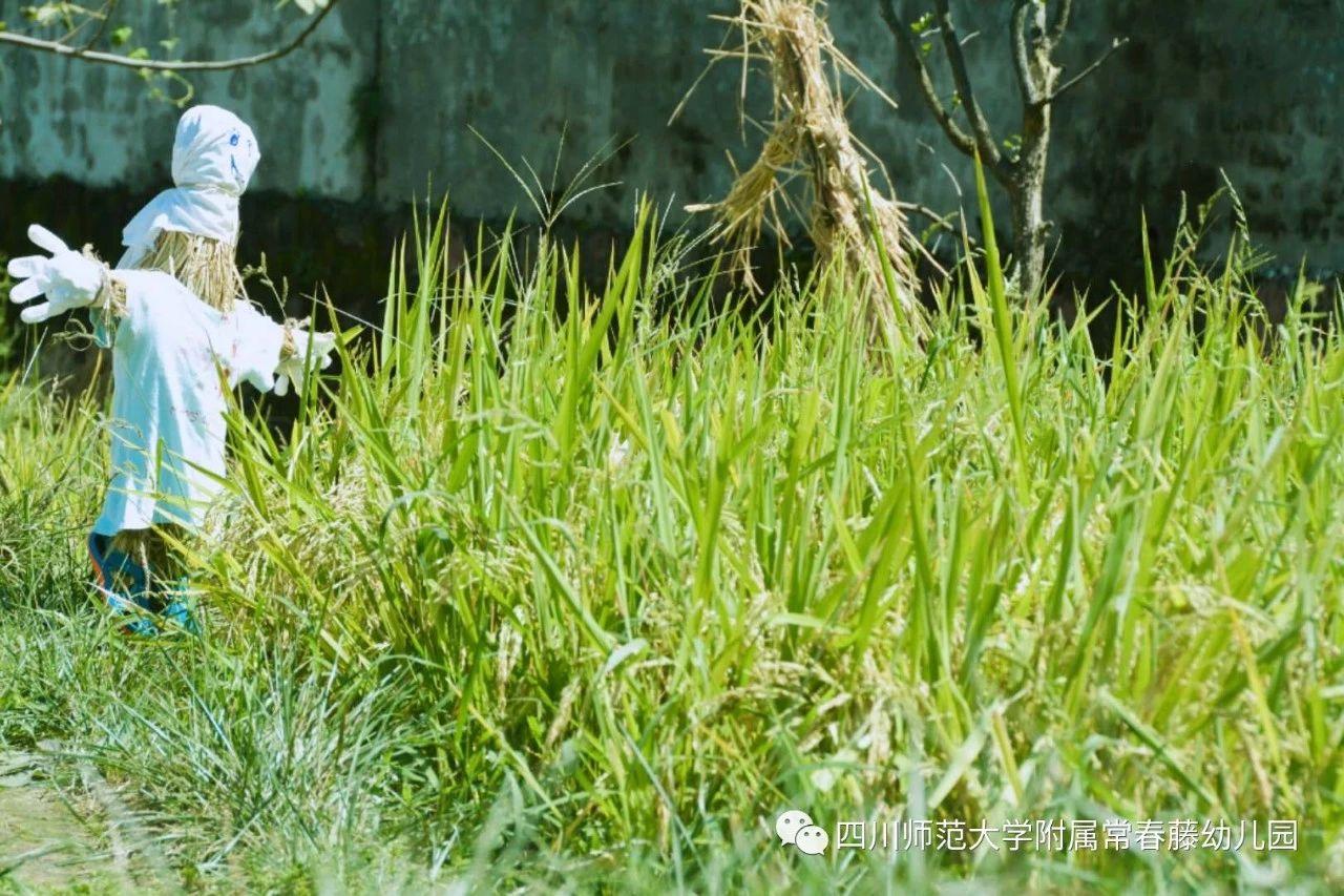 跟着节气过日子 | 藤园里的谷田稻香